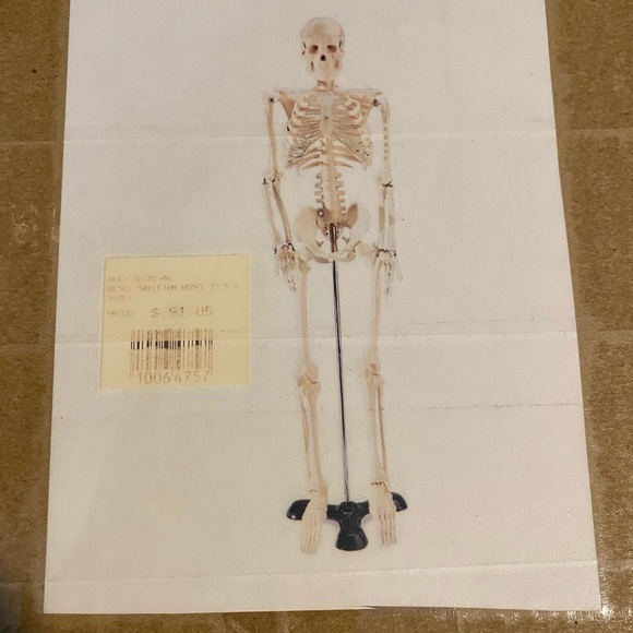 Over 2ft tall biology skeleton
